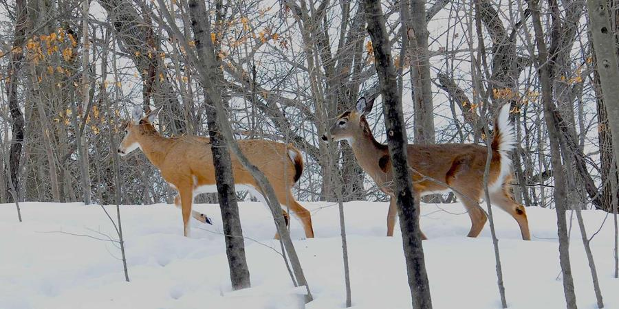 Two deer strolling through a winter landscape