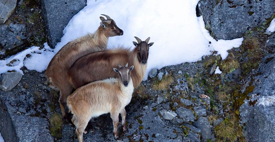 Tahr control programme update - 3 tahr stand on a mountain side in snow