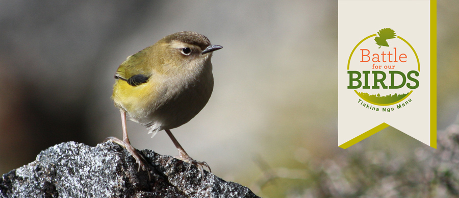 Rock wren | Battle for our Birds