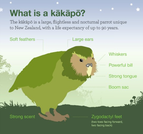 part of an infographic about kākāpō