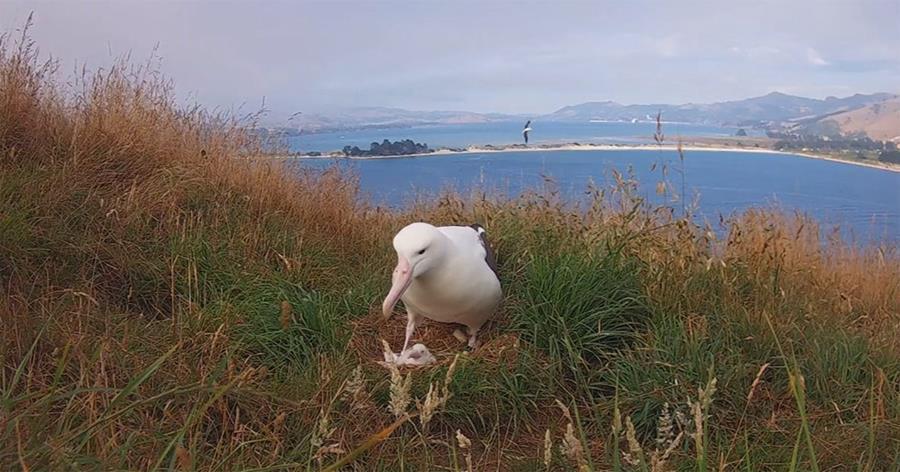 Northern royal albatross nest.