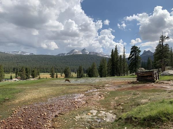 A colorful photo of a peaceful scene in Tuolumne Meadows, with a deer drinking from a gentle stream (Soda Springs) and snow-capped peaks in the distance.