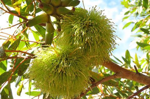Eucalyptus conferruminata in the Diversity Garden