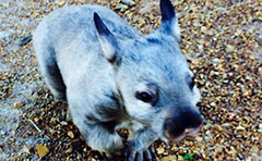 Photo of one of the baby wombats who will be at Ecofest on June 1