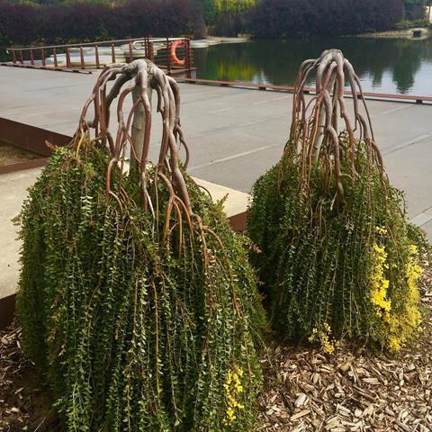 Acacia cultriformis 'Cascade'