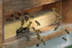 Bees buzzing into a beehive