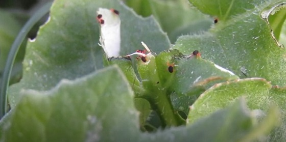 close up of red leggged earth mites on a leaf
