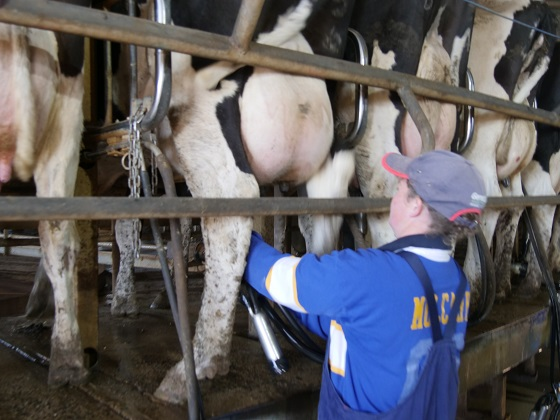 woman milking cows