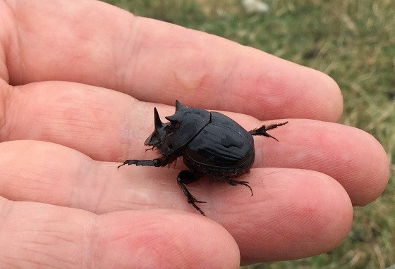 dung bettle on a human hand