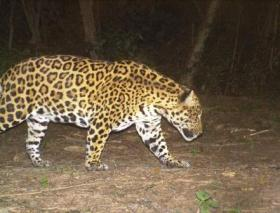 Trail camera image of a Jaguar in El Pantanoso. © Francesco Rocca.