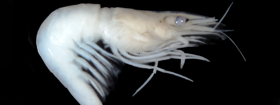 The tiny, transparent indistinct river shrimp closely resembles the native glass shrimp