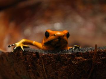 Golden Poison Frog. © Fundación ProAves.