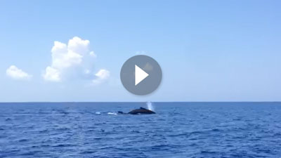 Humpback whales off Pine Cay