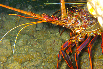 A rock lobster emerging from a reef nook