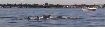 Dolphins in the sound