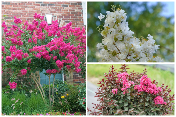 Crape Myrtle trees and shrubs