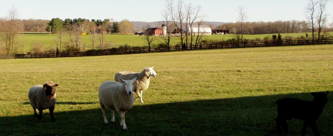 Oakview farm, Romney left, Border Leicester sheep right