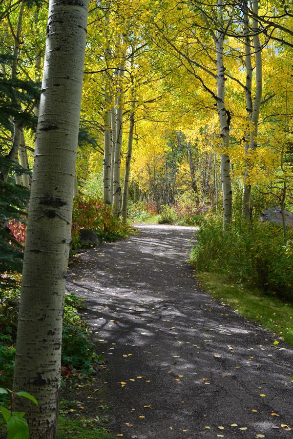 An Aspen Tree Lined Walkway