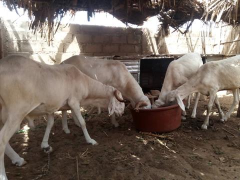 les chèvres de Khady Diouf