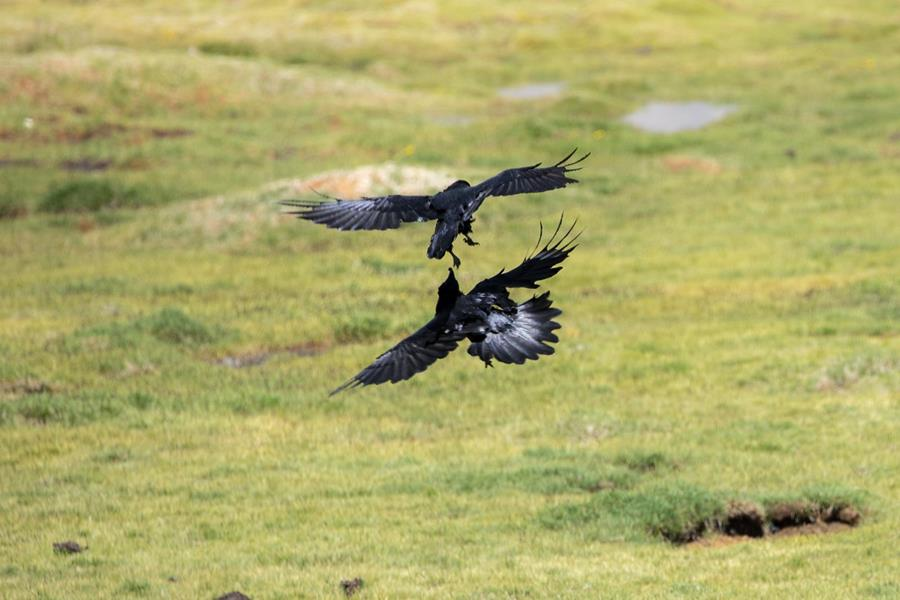 Ravens dueling at Tso Kar, Ladakh