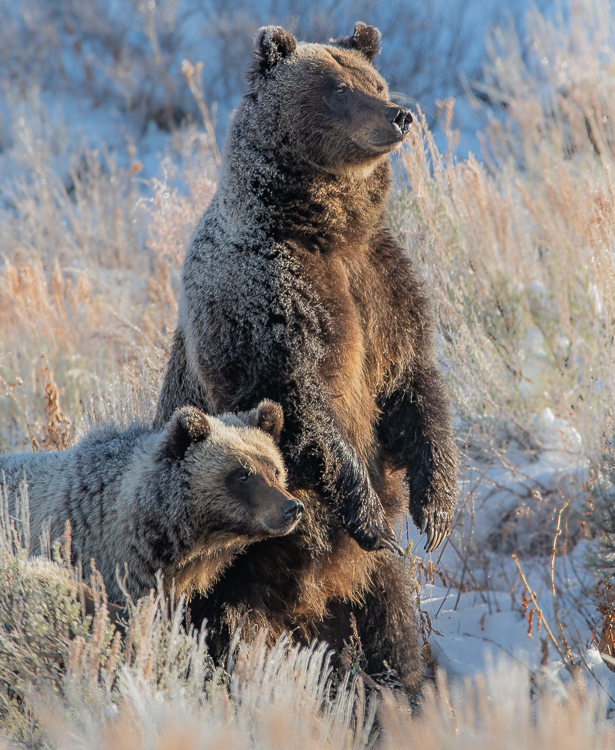 Jackson Hole Photography Tours - Grizzly