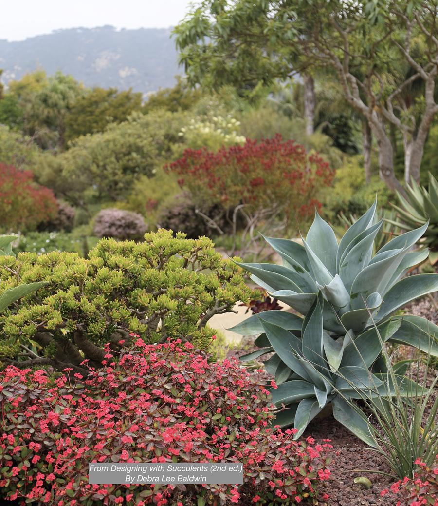 Garden with Agave attenuata, blue form (c) Debra Lee Baldwin