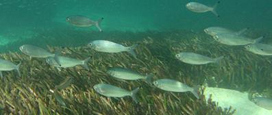 School of Australian herring