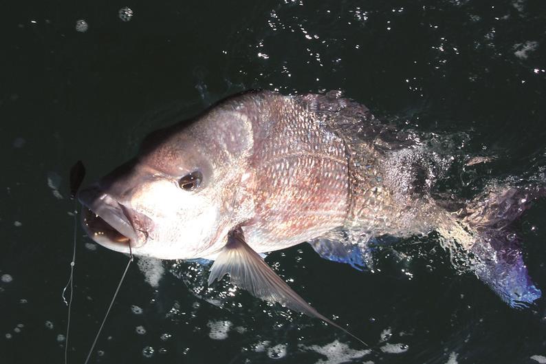 Western Australian dhufish