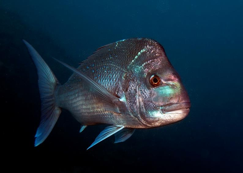 pink snapper swimming at night